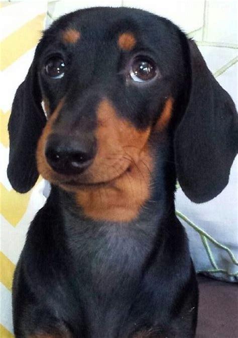 reasons dachshunds   worst indoor dog breeds