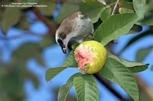 fruit birds birds fruits on a tree philippine bird