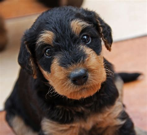 airedale terrier puppies 119 best images about airedale terrier on beautiful dogs donald o connor