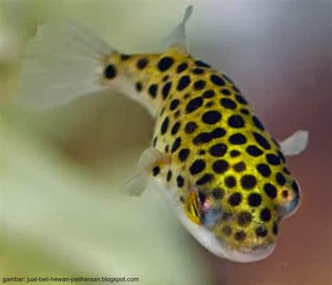 Pakan Hidup Ikan Hias pembenihan ikan buntal air tawar aanblog