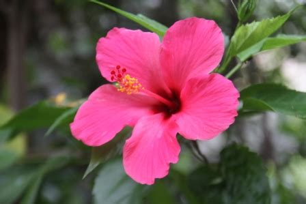 Bunga Bali Kembang Matahari yang mekar hari ini nimadesriandani