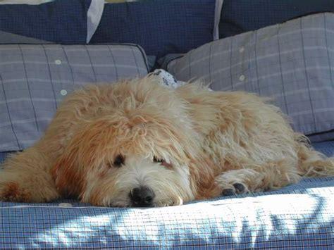 mini doodle puppies toronto ontario labradoodle breeder