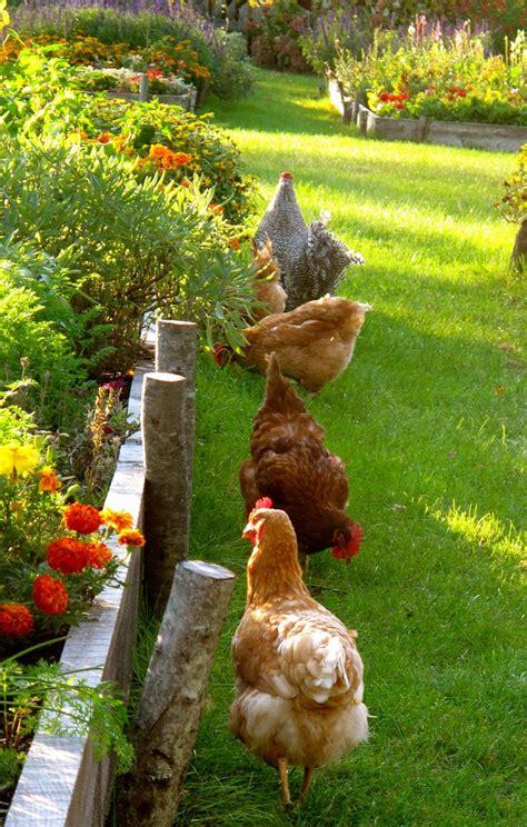 best backyard chickens 78 best chickens images on pinterest backyard chickens