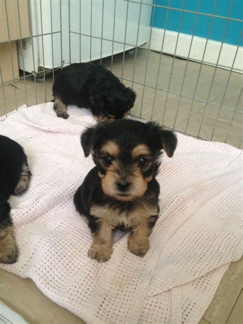 yorkie bichon mix puppies for sale in pa pekingese bichon mix breeds picture