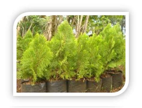Tanaman Hias Cemara Kinoki bari flora s pohon cemara