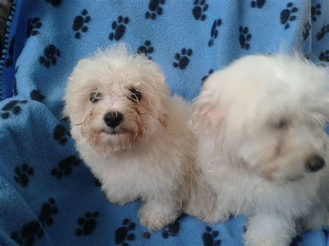 maltichon puppies bichon frise puppies for sale in pa keystone puppies breeds picture