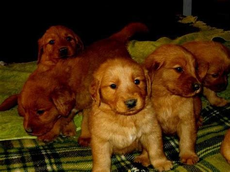 golden retriever puppies for sale gold coast the 25 best golden retrievers ideas on retriever puppy