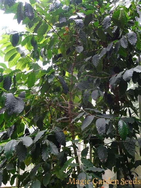 robusta coffee coffea canephora exotic plants