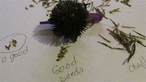 related keywords suggestions for echinacea seeds