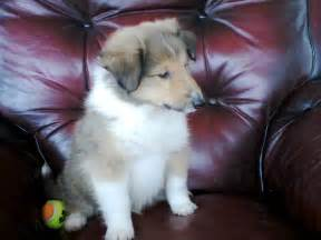 Years ago for sale dogs rough collie ammanford