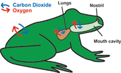 Cutaneous Respiration In Frog Essay by Respiratory System The Northern Leopard Frog