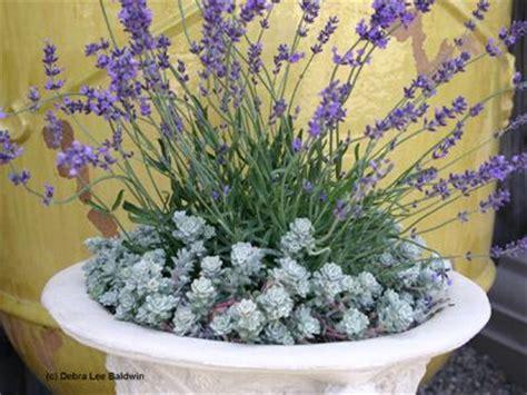 lavender container garden sedum with lavender drought tolerant container