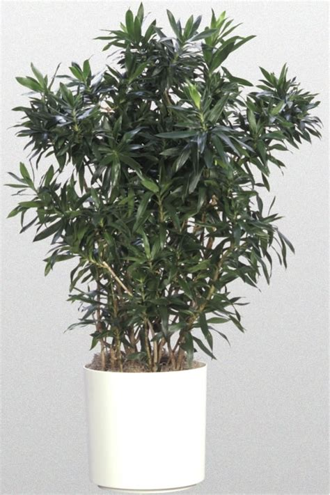 dracaena reflexa medium light plants