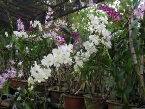 file orchid plants jpg wikipedia