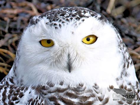 snowy owl biology owling com