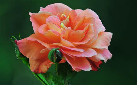 wallpaper rose bergerak wallpaper gambar bunga ros gambar 06