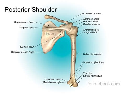 shoulder diagram shoulder anatomy