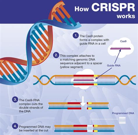 how a works how crispr works brain ask