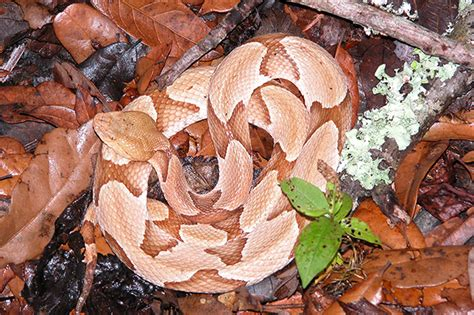 copper colored snake snakes florida s poison centers