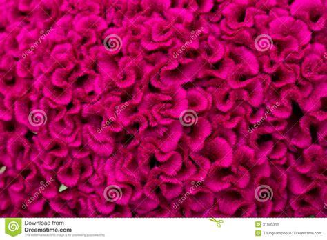 creste di gallo fiore fiore della cresta di gallo immagine stock immagine