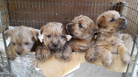 norfolk terrier puppies for sale norfolk terrier puppies for sale fakenham norfolk pets4homes