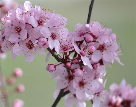 pink flowering tree flowers photograph by p s