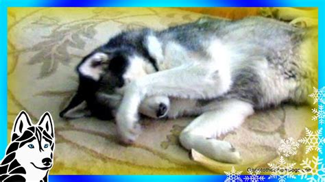 is bread bad for dogs bad what a guilty siberian husky shiloh eats bread