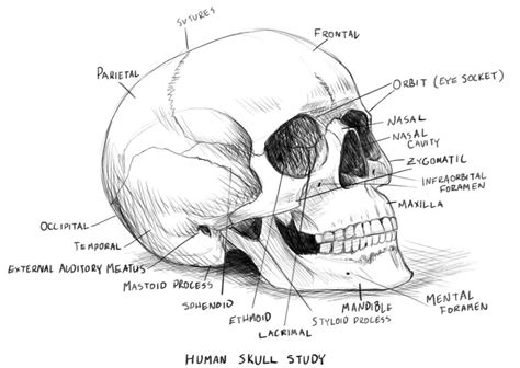 skull diagram human skull anatomy study by rpowell77 on deviantart