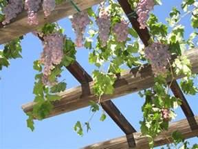 Grapevine Pergola by 19 Best Pergola Plants Climbing Plants For Pergolas And