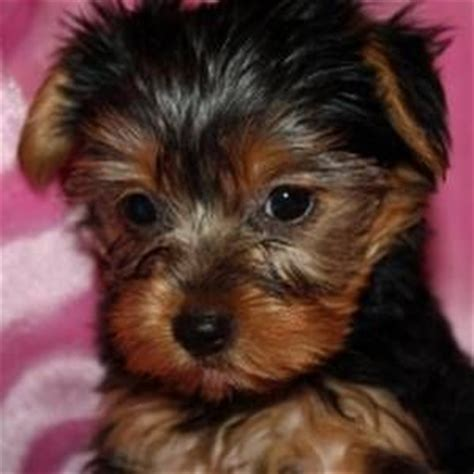 yorkies for sale in wyoming affectionate sweet teacup yorkies for sale adoption from wyoming laramie adpost