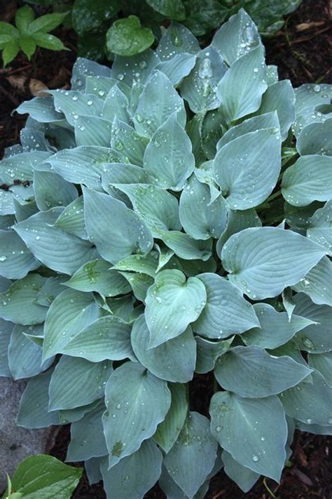 1000 images about plants hostas on pinterest