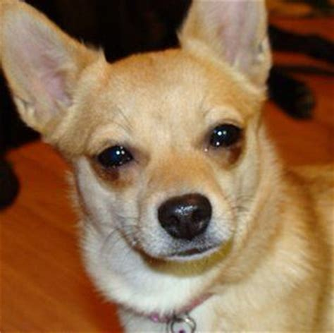 haired pomeranian chihuahua mix hair pomeranian chihuahua mix my next sweetheart just and most