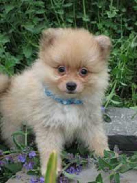 pomeranian puppies for sale in toronto pomeranian puppies for sale outside greater toronto area toronto