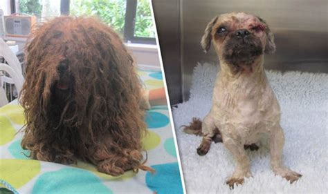 matted shih tzu vet struck for neglecting leaving it with matted fur and prolapsed eyeball