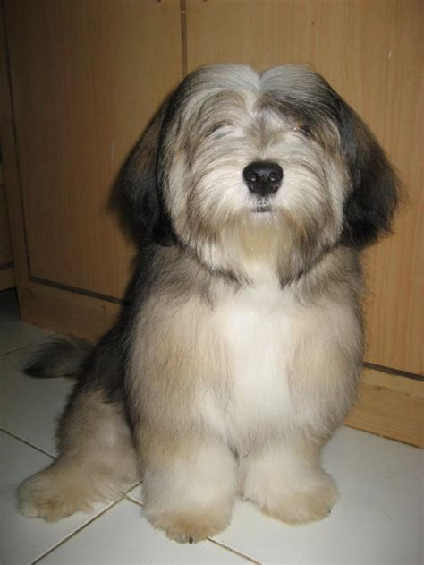 lhasa apso puppies price lhasa apso puppies for sale p manjunath rao 1 2207 dogs for sale price of