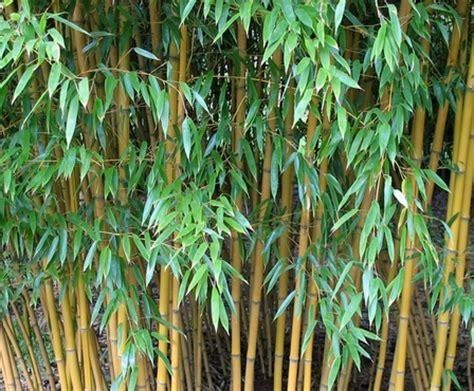 khasiat daun bambu kuning manfaatcoid