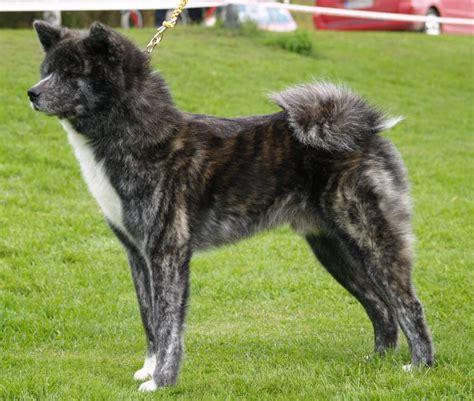 black akita puppy akita breed 187 information pictures more