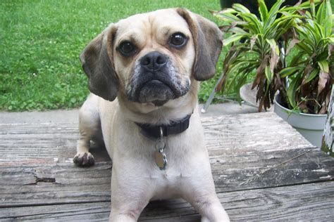 Things You Need For New House a puggle in paradise