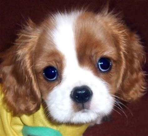king cavalier the in world cavalier king charles spaniel