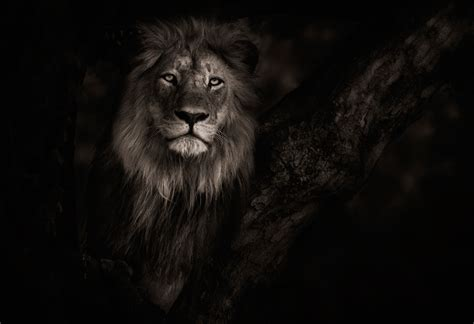 film with a black lion l 246 we full hd wallpaper and hintergrund 2500x1714 id 572145