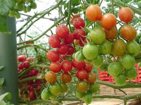 Pupuk Bunga Yg Bagus cara menanam tanaman hidroponik tomat