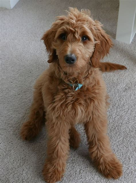 doodle wikia goldendoodle
