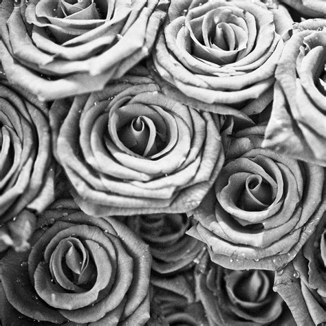 wallpaper grey roses black and white rose wallpapers wallpaper cave