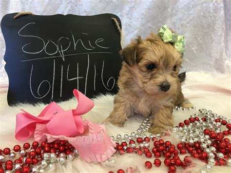 yorkie puppies for sale in indiana yorkie poo puppies for sale in indiana breeds picture