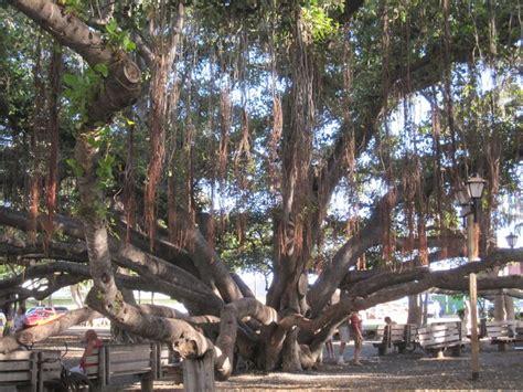 lighting of the banyan tree lahaina banyan tree lahaina maui by the old courthouse harbor