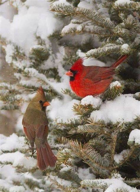 cardinals red one male the other female winter