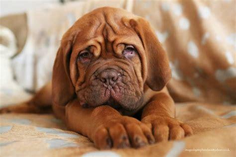 dogue de bordeaux puppy stunning dogue de bordeaux puppies for sale nottingham nottinghamshire pets4homes