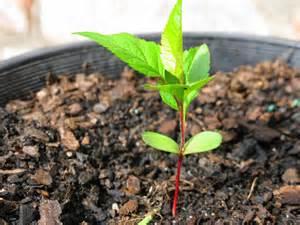 Windowsill Pots How To Grow An Apple Tree From Seed The Garden Of Eaden