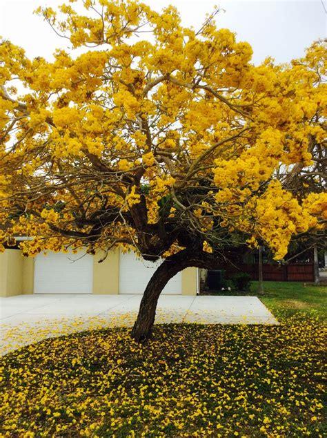 yellow tabebuia april  sarasota  showy tabebuia