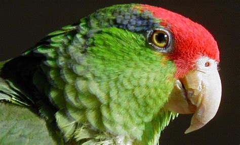 mexicanlove bird are there more free living mexican crowned parrots in us cities than in mexico